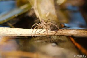 Slíďák mokřadní (Pardosa amentata)