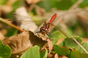 Vážka rudá (Sympetrum sanguineum)