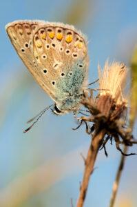 Modrásek jehlicový (Polyommatus icarus)
