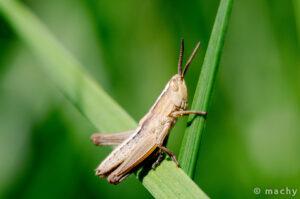 Saranče hnědé (Chorthippus brunneus)