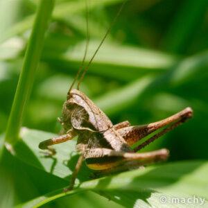 Kobylka obecná (Pholidoptera griseoaptera)