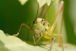 Kobylka luční (Conocephalus fuscus)