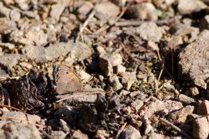 Okáč šedohnědý (Hyponephele lycaon) - sameček
