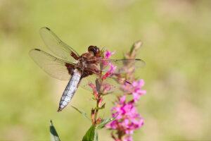Vážka ploská (Libellula depressa) - sameček