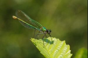 Motýlice lesklá (Calopteryx splendens) - samiička