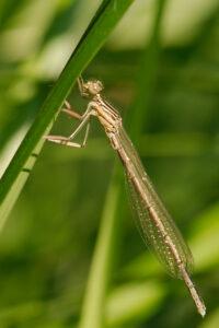 Šidélko brvonohé (Platycnemis pennipes)