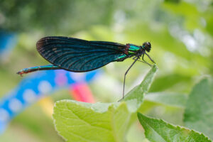 Motýlice obecná (Calopteryx virgo) - sameček